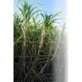 Biofertilizer for Sugarcane, Gluconacetobacter Diazotrophicus, Organic Fertilizer, Symbiotic Nitrogen Fixing Bacteria