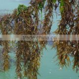 Bulk Supply Sargassum Powder Fucoidan 20%/Sargassum pallidum(turn.) c. ag. Extract Powder