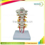 High Quality Human Body Anatomy Bone Model Cervical