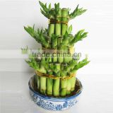 lucky bamboo plant sale for market decor