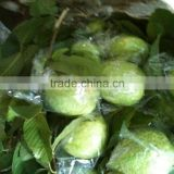 GOOG QUALITY FRESH GUAVA