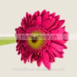 Beautiful rose artificial gerbera daisy flower heads with 20stems/bundle from Yunnan, China