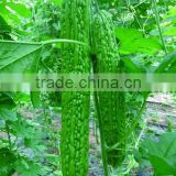 Hybrid F1 strong disease resistant bitter gourd seeds Bumper F1