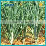 High quality onion powder plants extraction dried onion powder
