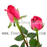 Pot Natural High Quality Long Stem Glass Flowers The Tea Roses On Sale Long Stem Fresh Flowers Pink Roses On Sale From Yunnan