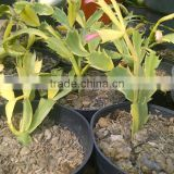 INQUIRY ABOUT Schlumbergera variegated cactus plant