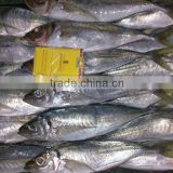 Factory Direct Marketing Frozen Horse Mackerel Fish