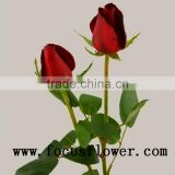 Newest wholesale love roses and Fresh cut foliage high quality love roses carola with 0.8_1.3kg/bundle from yunnan