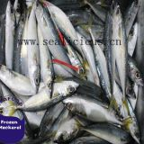 Seafrozen Pacific Mackerel IQF Scomber Japonicus 4-6PCS/KG  New Fishing