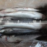 Frozen roe off 1-2kgs Grey mullet and mugil cephalus