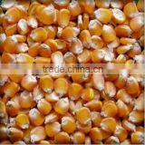 Thailand Premium Dried Sweet Feed Corn for Sale