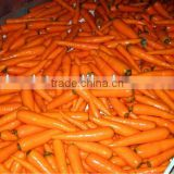 chinese bulk fresh carrots wholesale