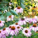 Top quality with free sample Echinacea Angustifolia herb P.E. 4:1