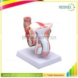 Biological Teaching Aids Human Body Male Genital Organs Model