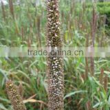 Horse Loved High Yield Hybrid Pennisetum Grass Seed
