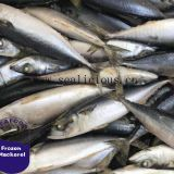 IQF/BQF Frozen Pacific Mackerel