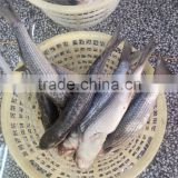 2015 wild frozen grey mullet wr roe off new catch 1000g+/pc