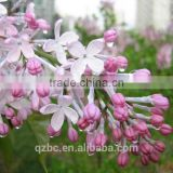 100% pure natural organic herbal fragrance aroma guangzhou oem lilac essential oil clove oil