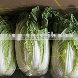 2011fresh chinese green big cabbage