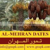 Bleached Dry Dates High Quality Healthy GMO-FREE Fruit Products by GNS Pakistan / Almehran Food Products