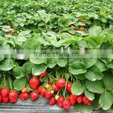 China Wholesale Products Natural Strawberry Extract 5:1 With Free Sample, Strawberry powder