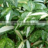 Hot sell Dracaena godseffiana and other fresh cut foliage fillers with most competitive price