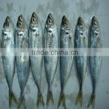 frozen pacific horse mackerel indian horse mackerel fish
