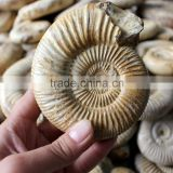 natural snail fossils ammonite fossils for sale