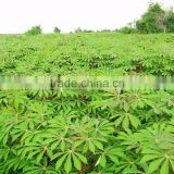 Cassava Leaf Grade A with high quality from Vietnam