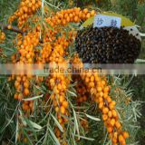 Seabuckthorn Fruit/Berry Seeds For Growing High Economic Value Can Harvest More Than 25 Years