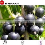 supply Chian fruite organic Frozen IQF black currants