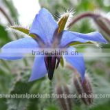 100% Pure & Natural Borage Essential Oil