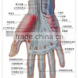 Artpaper Medical wall chart--muscle, blood vessel and nerve