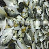 fresh frozen golden pomfret white pomfret fish