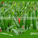High Yield F1 Hybrid Chilli Seed - Spicy 03