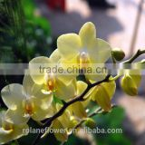 High quality beautiful rose cut diamond top sell fresh cut orchids and rose with 0.3kg/bundle from Yunnan, China