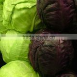 Green Cabbage Purple Cabbage With Good Quality