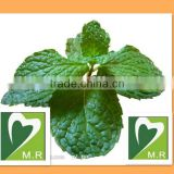 Top quality Wild Mint Herb Extract 100% natural