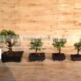 Portulacaria afra ( Jade plant) bonsai ball shape