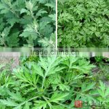 pure mugwort oil /Artemisia argyi essential oil with lowest price
