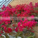 Bougainvillea for Greening