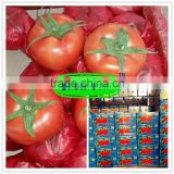 Xinjiang best quality fresh tomatoes expot the Middle Asia