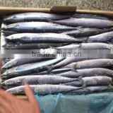 BQF indian mackerel best sale pacific saury frozen fish for bait