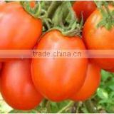 Tomato Seeds F1 Hybrid Manufacturer in india