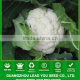 CF38 Mingzhu 100 days f1 hybrid later maturity white cauliflower seeds of vegetable seeds