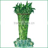 fengshui wheel lucky bamboo air bonsai tree dracaena sanderiana indoor ornamental aquatic water plants nursery garden decoration