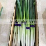 Canada Market Fresh Onion Long Onion
