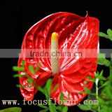 wholesale fresh cut flower plants Anthurium from kunming