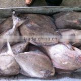 Frozen black Pomfret Fish W/R white