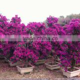 Bougainvillea for campus landscape